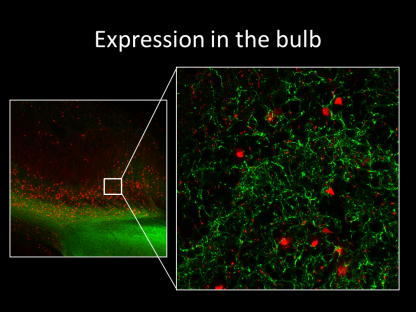 Chr2-expressing fibers from piriform cortex and tdTomato-expressing granule cells