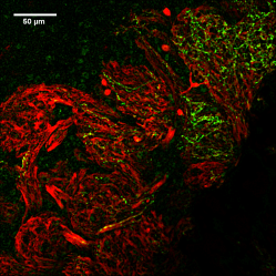 Olfactory receptor neurons in the glomerular layer of the olfactory bulb